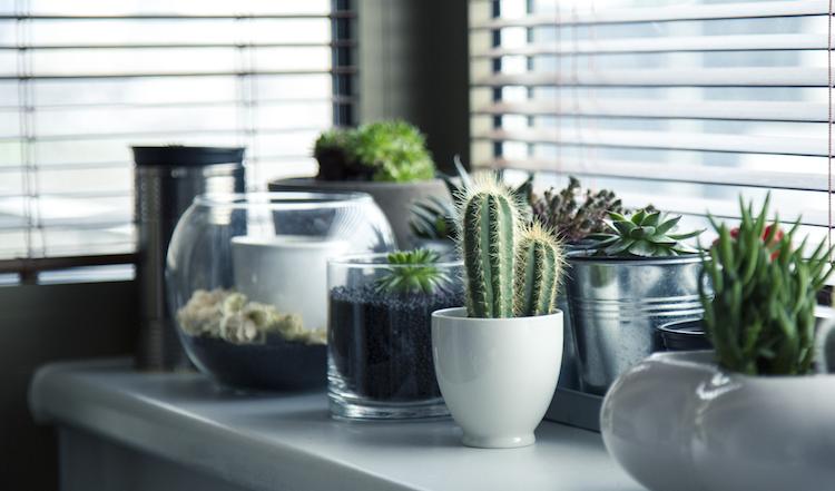 Cactus en una oficina